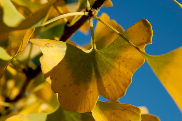 Ginkgo biloba, Maidenhair Tree,. © RBG KEW