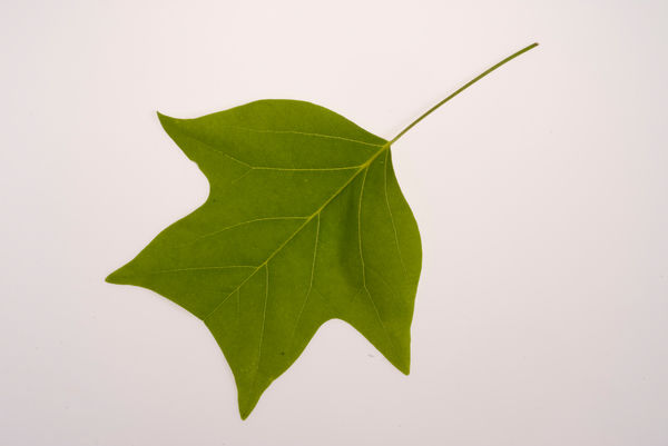 Green leaf. © RBG KEW