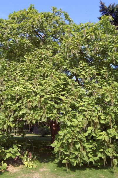 indian bean tree. © RBG KEW
