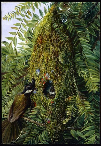 'Nest of the Coachman's Whip Bird, in a Bunya-Bunya, Queensland'. Copyright © RBGKew