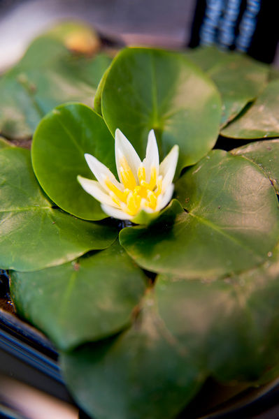 Nymphaea thermarum is the smallest waterlily in the world. © RBG KEW