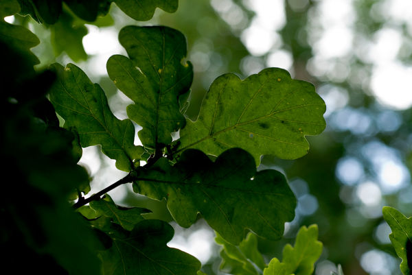 Oak Leaf. © RBG KEW