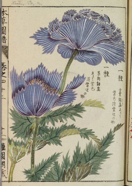 Botanical Illustration XLII 13 r from Honzo Zufu by Iwasaki Tsunemasa; Kan'en. © RBG KEW