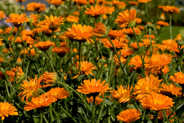 orange marigolds. © RBG KEW