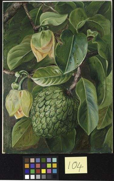 Painting 104, Foliage, Flowers and Fruit of the Soursop, Brazil . © RBG KEW