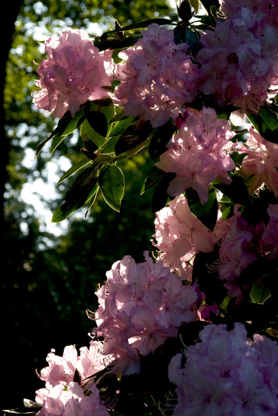 Pink Rhododendron. © RBG KEW