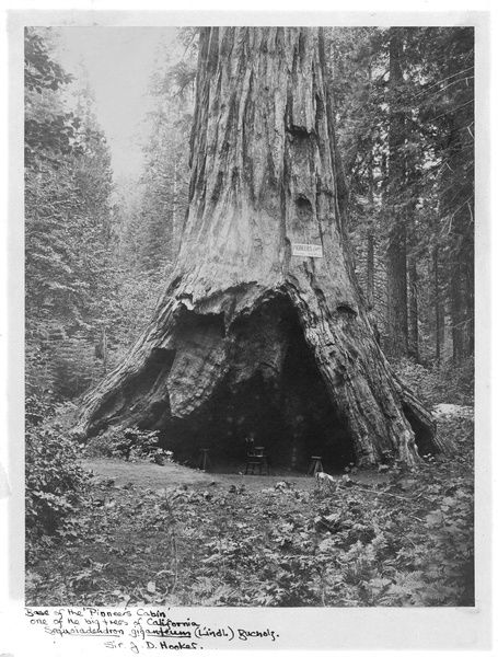 """Pioneer's Cabin"" at the base of a Sequoiadendron giganteum. © RBG KEW"