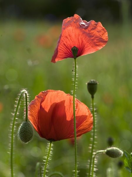 poppy field. © RBG KEW