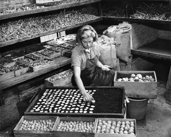 Potato tuber slices being dried in trays of peat, WWII. © RBG KEW