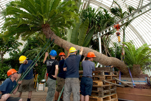 Repotting the oldest potplant in the world at Kew Gardens. © RBG KEW