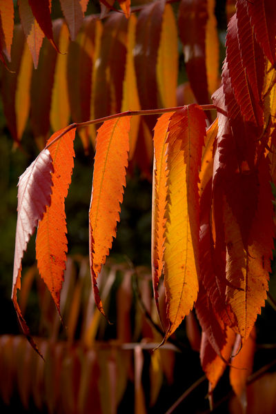 Rhus typhina leaves in Autumn. © RBG KEW