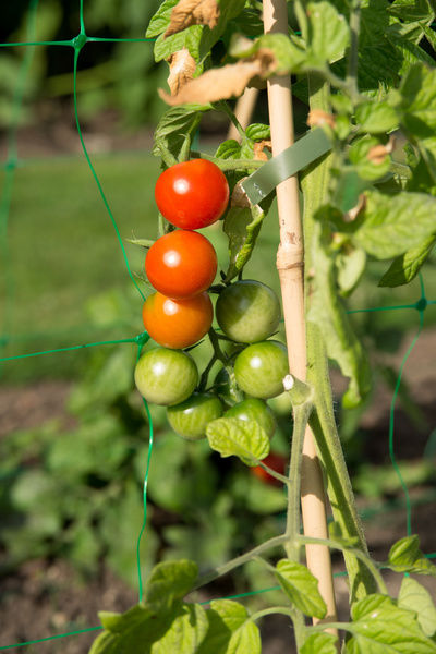 Ripening tomatoes on the vine. © RBG KEW