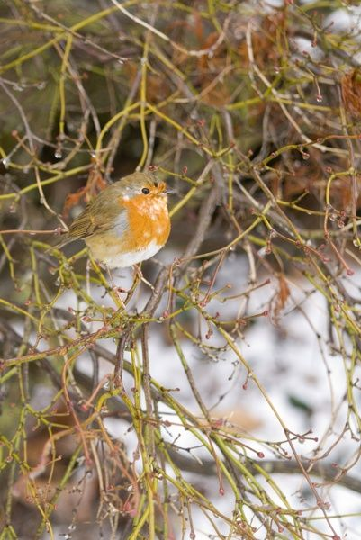 A robin in winter. © RBG KEW