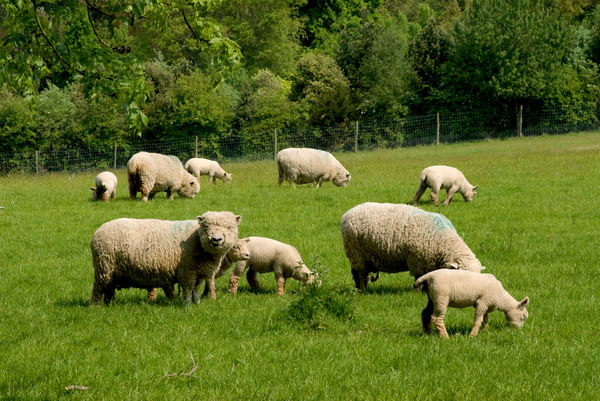 Sheep. © RBG KEW