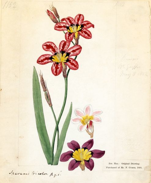 Spraxis tricolor (Schneev.) Ker Gawl. ('Three-coloured Spraxis'). © RBG KEW