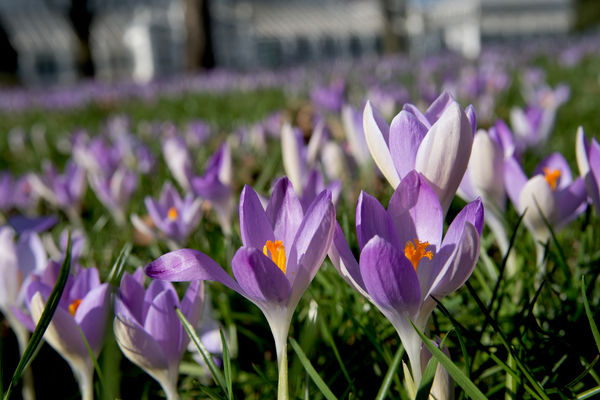 Spring Crocus in front of the Temperate House. © RBG KEW