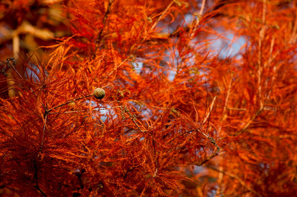 Taxodium distichum, Swamp Cypress. © RBG KEW