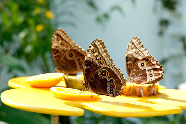 Tropical butterflies at Kew. © RBG KEW