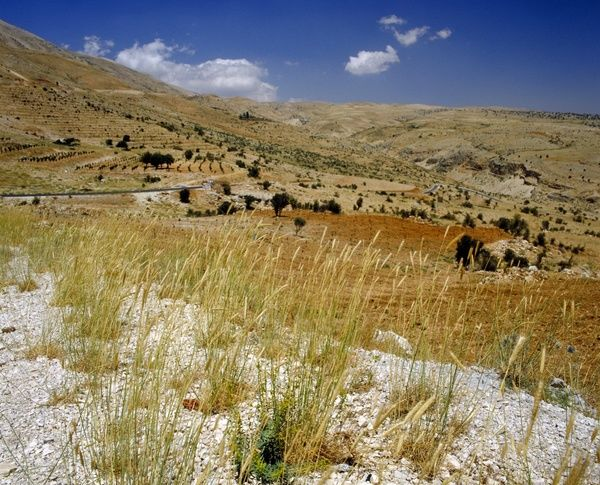 The upper slopes Mount Lebanon with wild barley in the foregroun. © RBG KEW