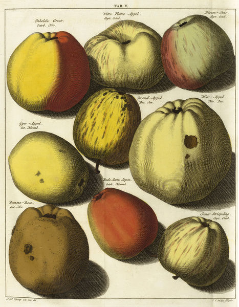 Varieties of apples. © RBG KEW