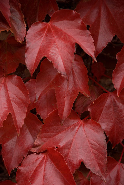 Virginia creeper. © RBG KEW