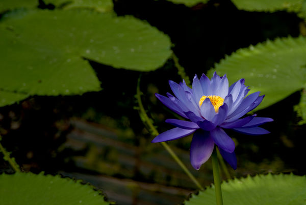 waterlily. © RBG KEW