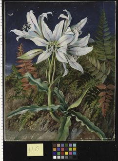 110. Night-Flowering Lily and Ferns, Jamaica.