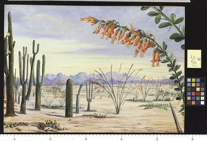 185. Vegetation of the Desert of Arizona.