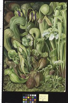 212. North American Carnivorous Plants.