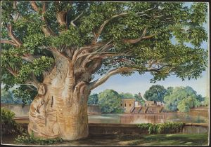262 African Baobab Tree in the Princess's Garden at Tanjore, India