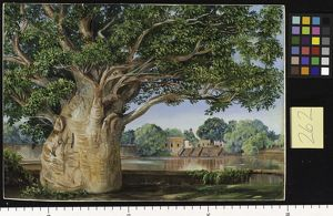 262. African Baobab Tree in the Princess's Garden at Tanjore, In