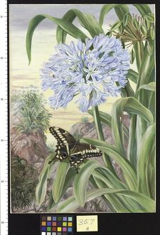 357. Blue Lily and large Butterfly, Natal.