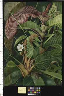 459. Wormia and Flagellaria in the Seychelles.