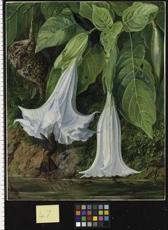 47. Flowers of Datura and Humming Birds, Brazil.