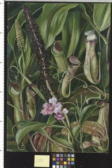 556. Foliage, Pitchers and Flowers of a Bornean Pitcher Plant, a