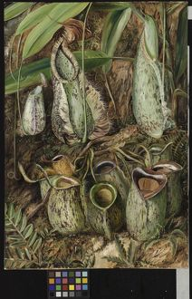 570. Other Species of Pitcher Plants from Sarawak, Borneo.