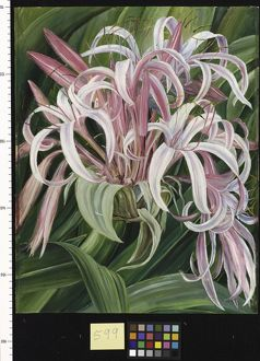 599. A cultivated Crinum, painted in Borneo.