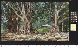 629. India-rubber trees at Buitenzorg, Java.