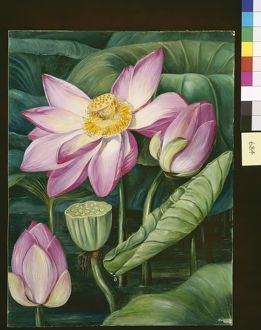 684. Foliage, Flowers, and Fruit of the Sacred Lotus in Java.