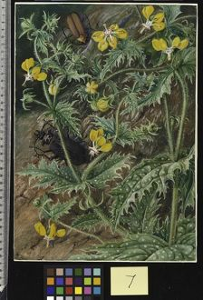 7. A Chilian Stinging Nettle and Male and Female Beetles.