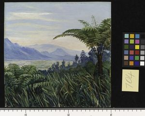 704. Tree Fern in the Preanger Mountains, Java.