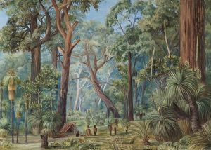 741. Scene in a West Australian Forest.