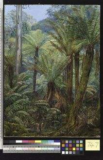 747. Tree Ferns in Victoria, with a nest of the Lyre Bird.