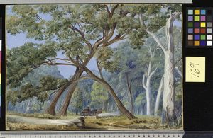 769. White Gum and Stringy-bark Trees, New South Wales.