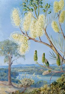 780. Branch of a Grevillea, and a View on the Swan River, West Australia.