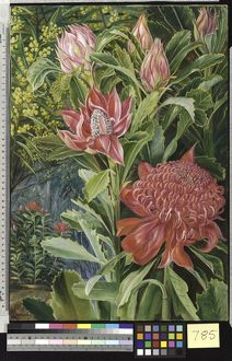 785. Flowers of the Waratah, of New South Wales.