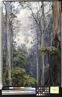786. Gum Trees and Tree Ferns, Victoria.