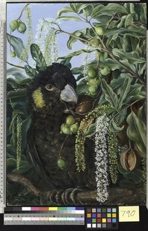 790. Foliage, Flowers, and Fruit of a Queensland Tree, and Black