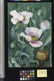 793. Foliage, Flowers, and Seed-vessel of the Opium Poppy.