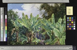 816. Study of Chinese Bananas and Bamboos, Teneiffe.